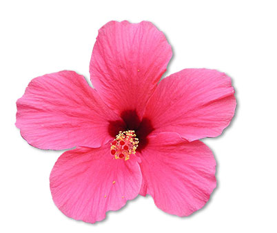 hibiscus-flower-crop4
